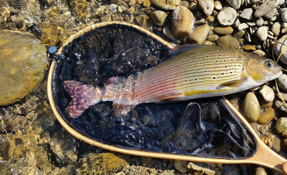 Nice Grayling caught in the middle of Graz